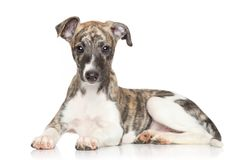 Whippet puppy on white background Stock Photo