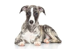 Whippet puppy on white background Stock Image
