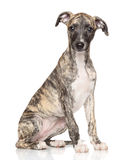 Whippet puppy on white background Royalty Free Stock Photos
