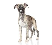 Whippet puppy on white background Royalty Free Stock Photo