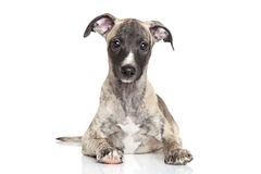 Whippet puppy on a white background Royalty Free Stock Images