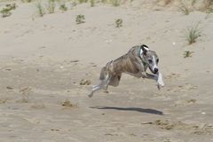 Whippet racing in the sand Stock Image