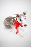 Whippet with red bow Royalty Free Stock Photography