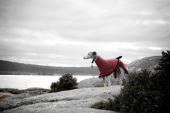 Whippet in red coat. A whippet dog in a red coat by the beach royalty free stock photography