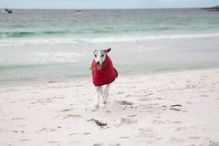 Whippet in red coat on beach Stock Image