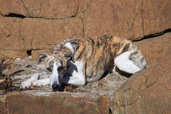 Whippet on rocks Royalty Free Stock Photography