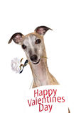 Whippet romantic dog with rose Stock Images