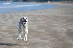 Whippet running along beach Stock Photo