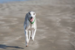 Whippet running along beach Stock Photos