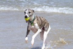 Whippet running with ball Stock Photo