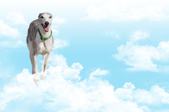Whippet running in clouds. A lovely whippet dog running in clouds royalty free stock photography