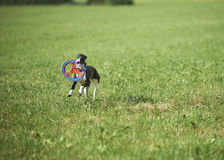 Whippet running with frisbie Royalty Free Stock Image