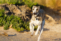 Whippet running Stock Photos