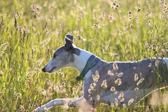 Whippet running through meadow Royalty Free Stock Photos