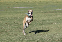 Whippet running at the park Stock Images