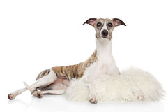 Whippet in sheep skin on a white background Royalty Free Stock Photography