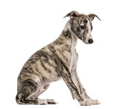 Whippet sitting, 2,5 months, isolated Royalty Free Stock Photos