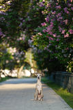 Whippet standing in landscape Royalty Free Stock Image