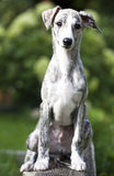 Whippet szczeniak, 3 miesiąca Obraz Royalty Free