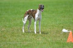 Whippet szczeniaka pies w polu zdjęcie stock