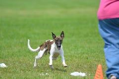 Whippet szczeniaka pies w polu obraz royalty free