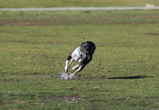 Whippet tearing up the wet grass running at the park Stock Images