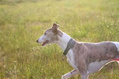 Whippet trotting through grass, sunset Stock Images