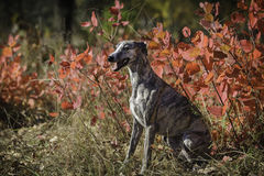 Whippet on a walk in the park stock image