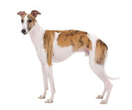 Whippet of white background Stock Image
