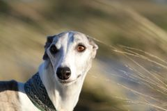 Whippet in the wind Royalty Free Stock Photography