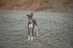 Whippet, Windhund draußen Lizenzfreies Stockfoto