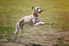 Whippethond met stok Stock Fotografie