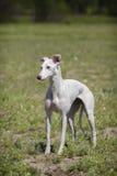 Whippethund auf einem Gebiet Weiße Wollen Lizenzfreies Stockfoto