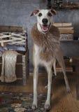 Whippethund, der einen Pelzkragen trägt Stockfotos