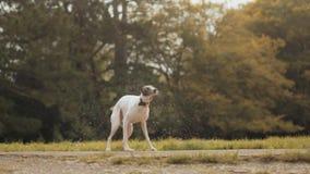 Whippethund som skakar av vatten & torkar sig - toppen ultrarapid arkivfilmer