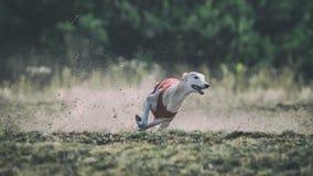 Whippethundspring Jaga, passion och hastighet Fotografering för Bildbyråer