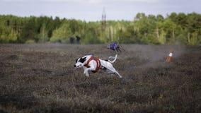 Whippethundspring Jaga, passion och hastighet Arkivfoton