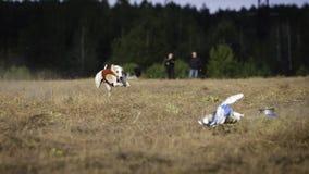 Whippethundspring Jaga, passion och hastighet Royaltyfri Fotografi