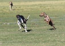 Whippets бежать на парке Стоковое Фото