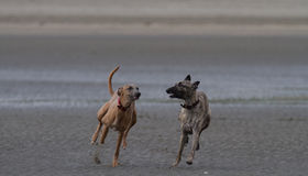 Whippets бежать на песчаном пляже собаки дружелюбном Стоковые Изображения