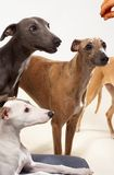 Whippets. Three whippets in the studio royalty free stock photos