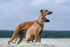 Whippets Stock Image