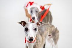 Whippets de Santa com carro do Natal Imagem de Stock Royalty Free