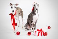 Whippets della Santa con il ginf di natale e le bagattelle rosse Immagine Stock Libera da Diritti