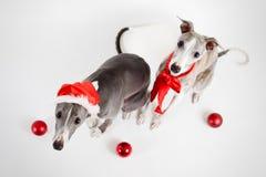 Whippets della Santa con le bagattelle di natale Fotografia Stock Libera da Diritti