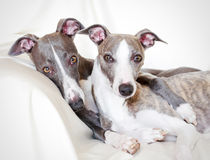Whippets friendship Royalty Free Stock Photography