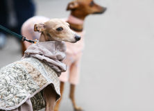 Whippets on grey background Stock Photography