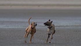 Whippetten die op een hond vriendschappelijk zandig strand lopen stock afbeeldingen