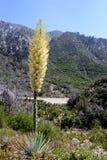 Whipplei die van Hesperoyucca van de Chaparralyucca in de bergen, Angeles National Forest bloeien; De provincie van Los Angeles,  royalty-vrije stock foto