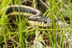 Whipsnake de Alameda Imagem de Stock